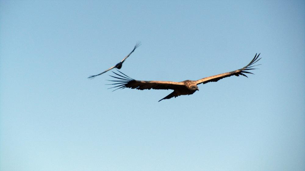 le condor des andes du Pérou